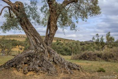 Al ser recuperado, el olivo incrementa su demanda de carbono, ya que empieza a tener nuevos brotes, brotes que se alimentan del carbono.