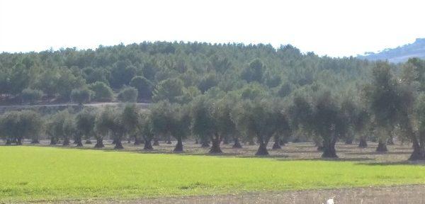 De los 2,7 M€ de presupuesto, algo más de 665 000 € se destinarán a actuaciones del ámbito del olivar incluidas en el Subprograma Temático de este cultivo.