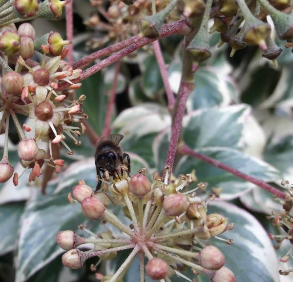 Los estudios científicos han vinculado durante mucho tiempo el uso de pesticidas neonicotoides a la disminución de las abejas melíferas, las abejas silvestres y otros polinizadores, pero una reciente investigación de la Agencia Europea de Seguridad Alimentaria (EFSA) ha servido para hacer saltar las alarmas, actualizar la información disponible y poner sobre la mesa los graves riesgos que la clotianidina, el imidacloprid y el tiametoxam representan no solo para la supervivencia de las especies mencionadas, sino para la seguridad alimentaria.